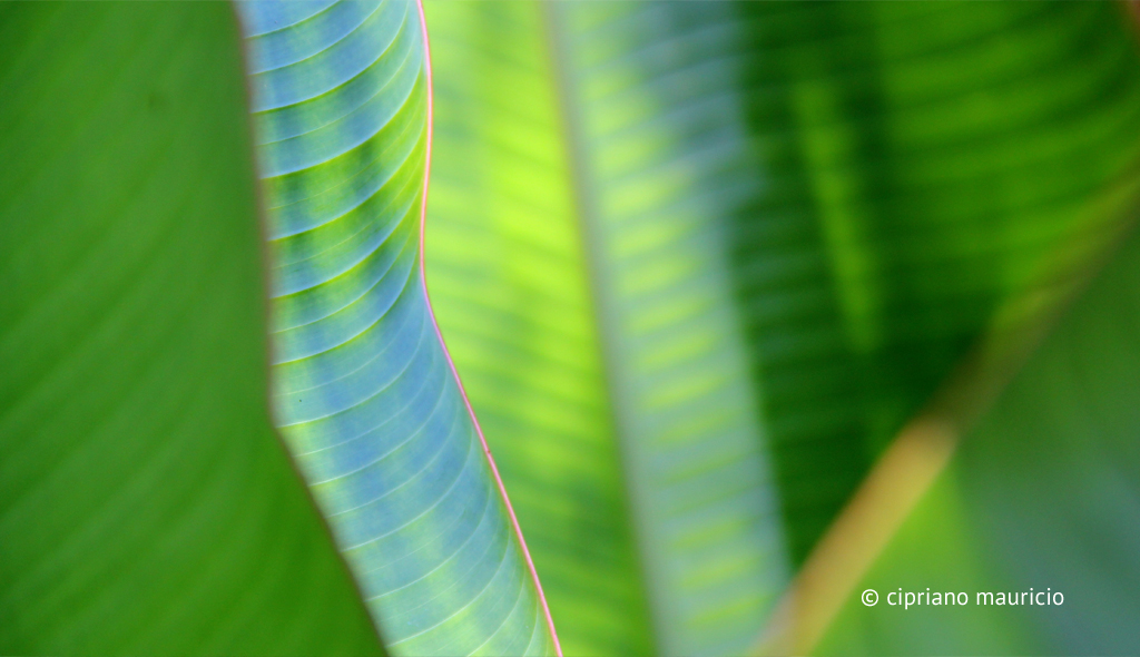 Banana Leaves - Translucent